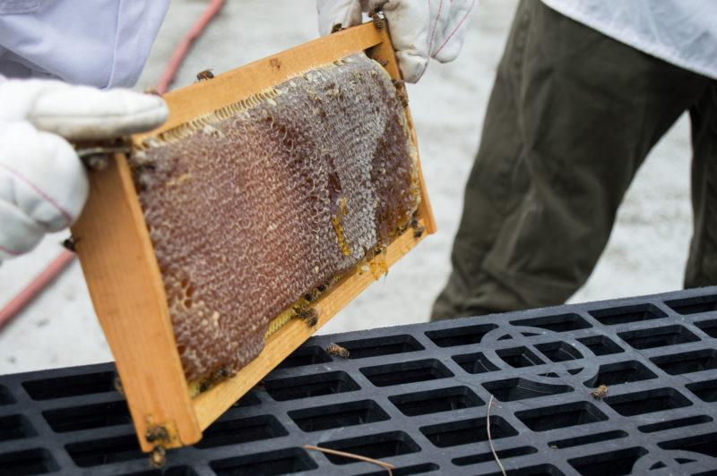 The honey is taken from the frames of the hives and processed through an extractor. photo by Chloe Sonnier, staff photographer