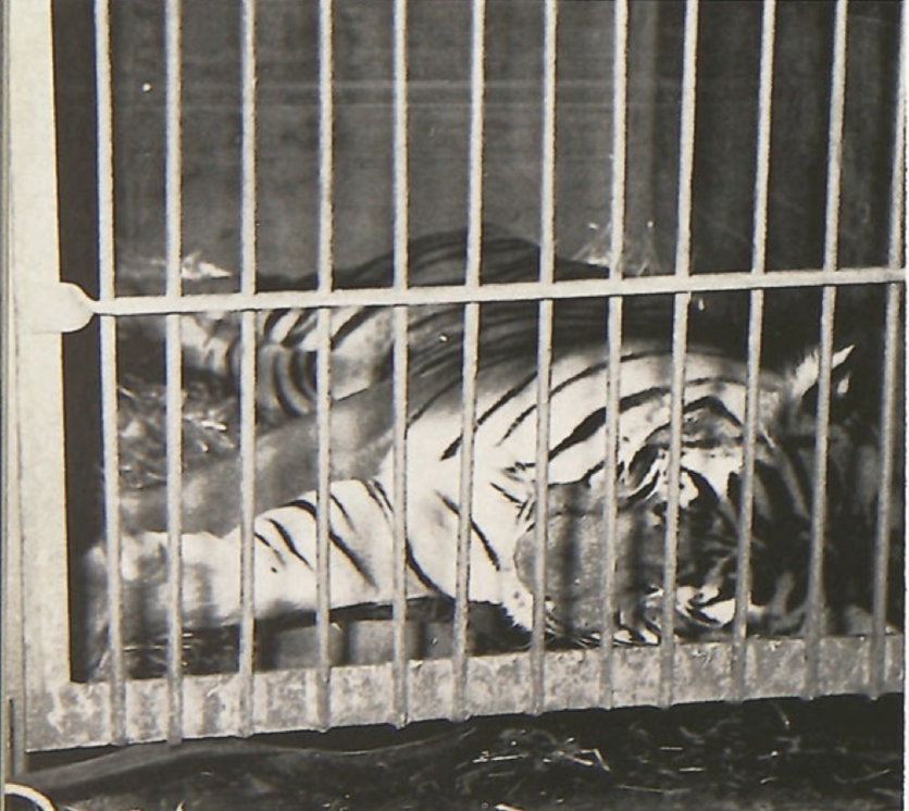LeeRoy, from real Bengal tiger to tiger suit