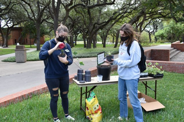 Trinity University and Spiritual Life had pop up planting on Friday October 16th outside the chapel; Person: Emma Ruchhoeft, Amanda Bratton Photo credit: Claire Sammons
